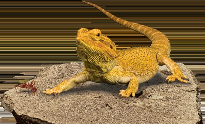 pogona vitticeps reptiles