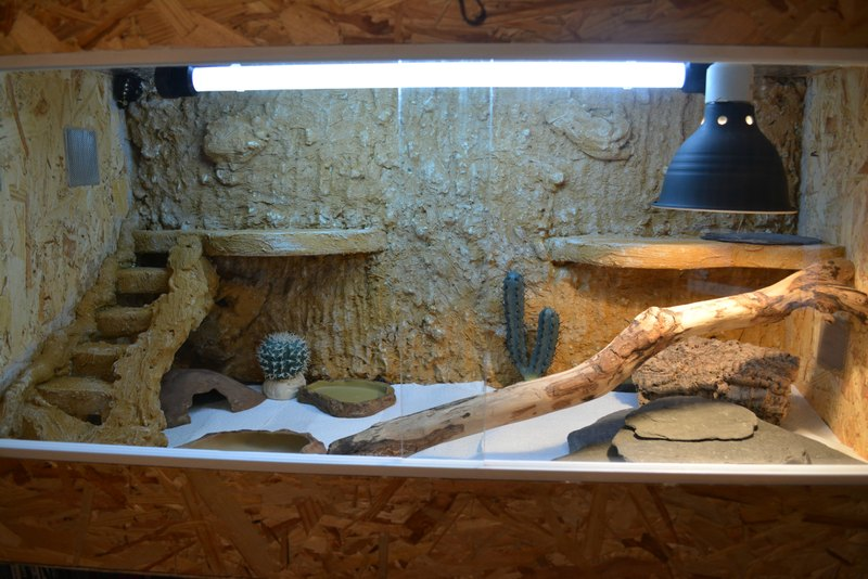accueil pogona vitticeps agame barbu un l zard hors du commun. Black Bedroom Furniture Sets. Home Design Ideas