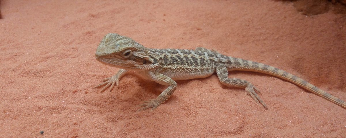 sable pogona
